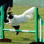 Dylan the agility papillon that trains at Beachside