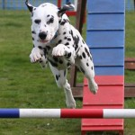 Jacob doing agility at Beachsides Waxham Show posted by Rachel Oliver with Pauline Homer
