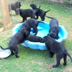 Pups in pond 1