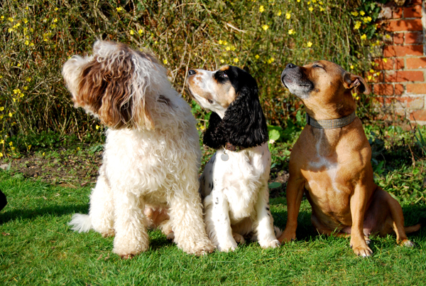 Suffolk Fairydogmother's dogs